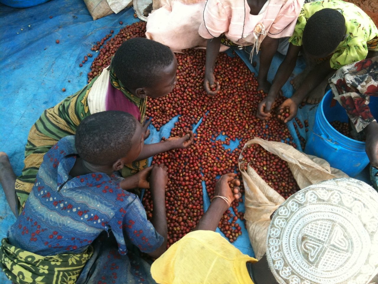 increased coffee production Kilimanjaro