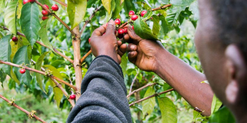 Coffee production in Tanzania