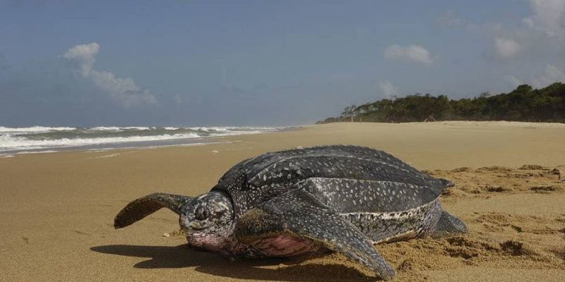 Sea turtle meat may be poisonous