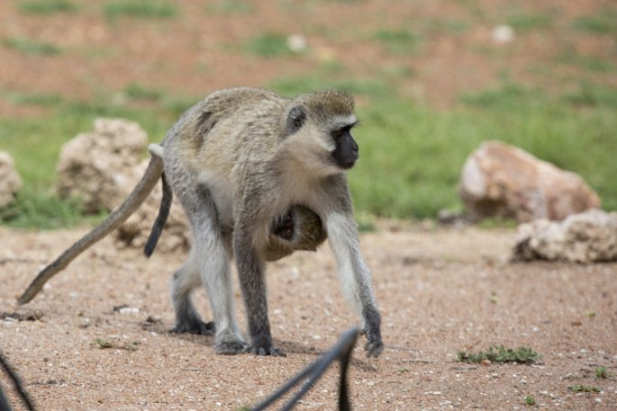 Vervet Monkeys in Serengeti