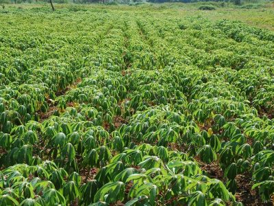 IITA's mobile app to track cassava seeds now